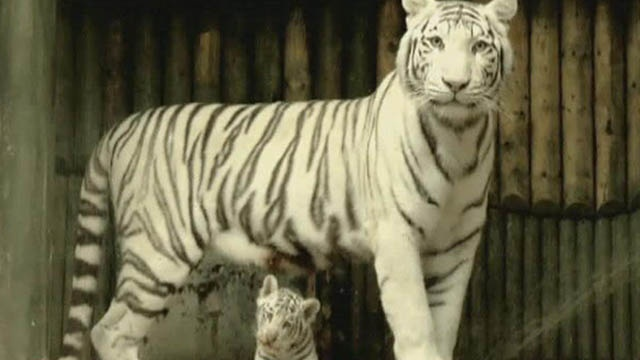 Come alarm white tiger tantra torrent